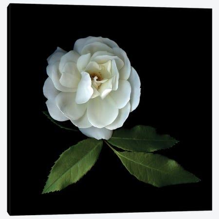 White Roses XIV Canvas Print #MAG383} by Magda Indigo Art Print