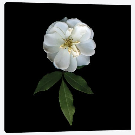 White Roses XX Canvas Print #MAG384} by Magda Indigo Canvas Artwork
