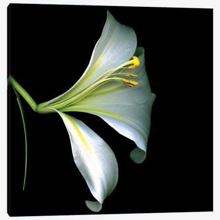 White Trumpet Lily IV Canvas Print #MAG385} by Magda Indigo Canvas Wall Art