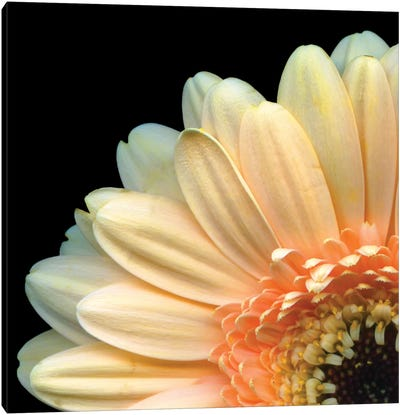 A Peek-A-Boo Gerbera Canvas Art Print