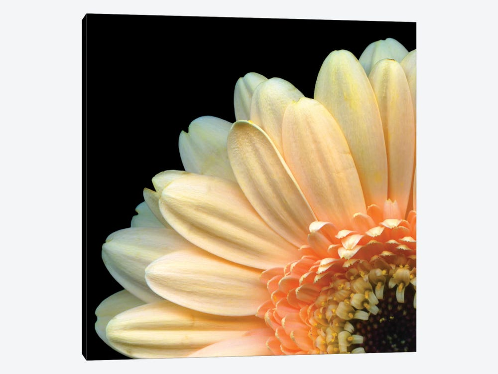 A Peek-A-Boo Gerbera by Magda Indigo 1-piece Canvas Art Print