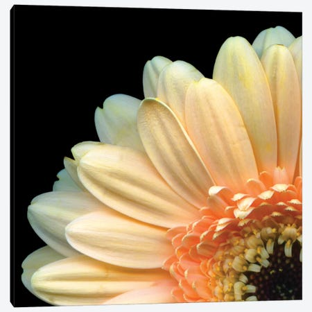 A Peek-A-Boo Gerbera Canvas Print #MAG3} by Magda Indigo Canvas Artwork