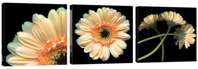 Gerbera Triptych Canvas Art Print