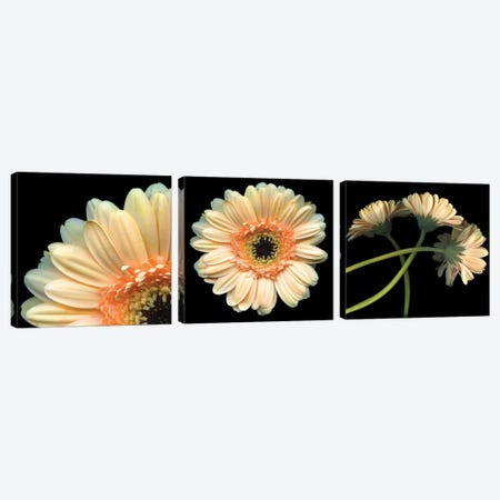 Gerbera Triptych Canvas Print Set #MAG3HSET002} by Magda Indigo Art Print