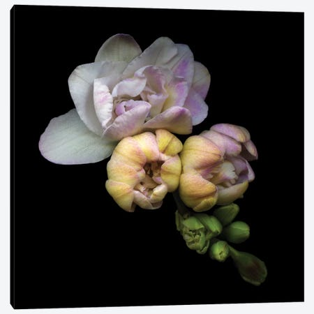 Plump Freesia Buds Canvas Print #MAG56} by Magda Indigo Canvas Artwork