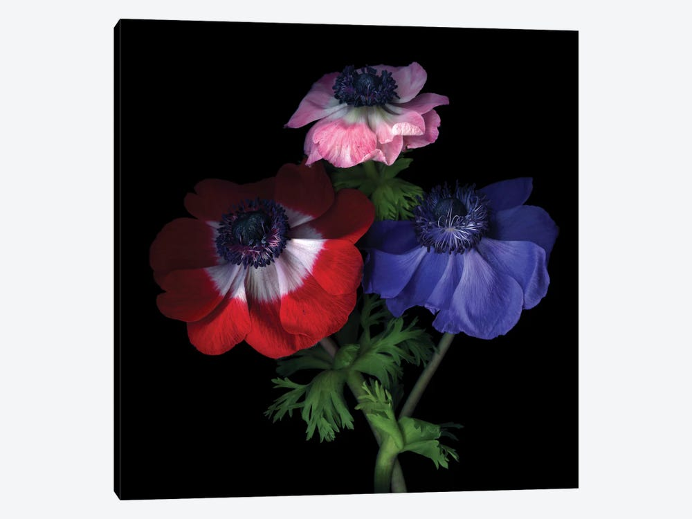 Purple Pollen-Dusted Anemones by Magda Indigo 1-piece Canvas Wall Art