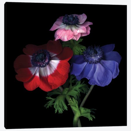 Purple Pollen-Dusted Anemones Canvas Print #MAG57} by Magda Indigo Canvas Artwork