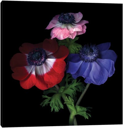 Purple Pollen-Dusted Anemones Canvas Art Print