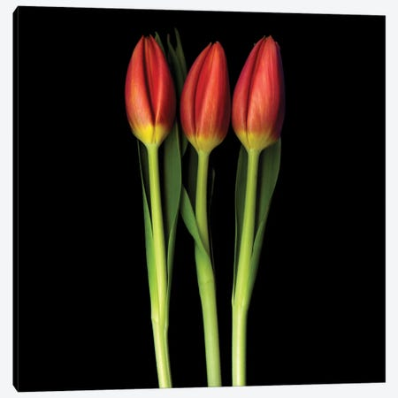 Red Tulip Trinity Canvas Print #MAG61} by Magda Indigo Canvas Artwork