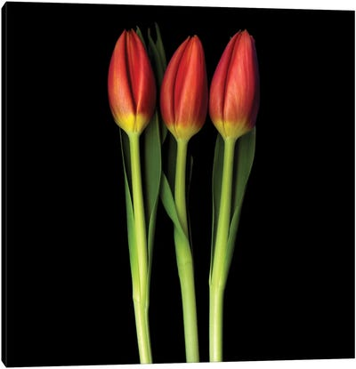 Red Tulip Trinity Canvas Art Print