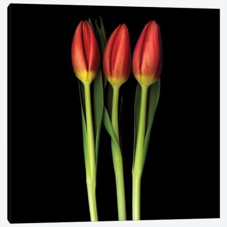 Red Tulip Trinity Canvas Print #MAG61} by Magda Indigo Canvas Artwork