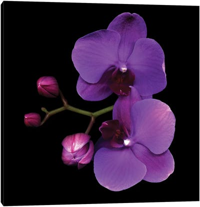 The Color Purple Canvas Print #MAG75