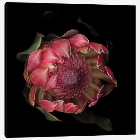 The Glory Of The Protea Canvas Print #MAG78} by Magda Indigo Art Print