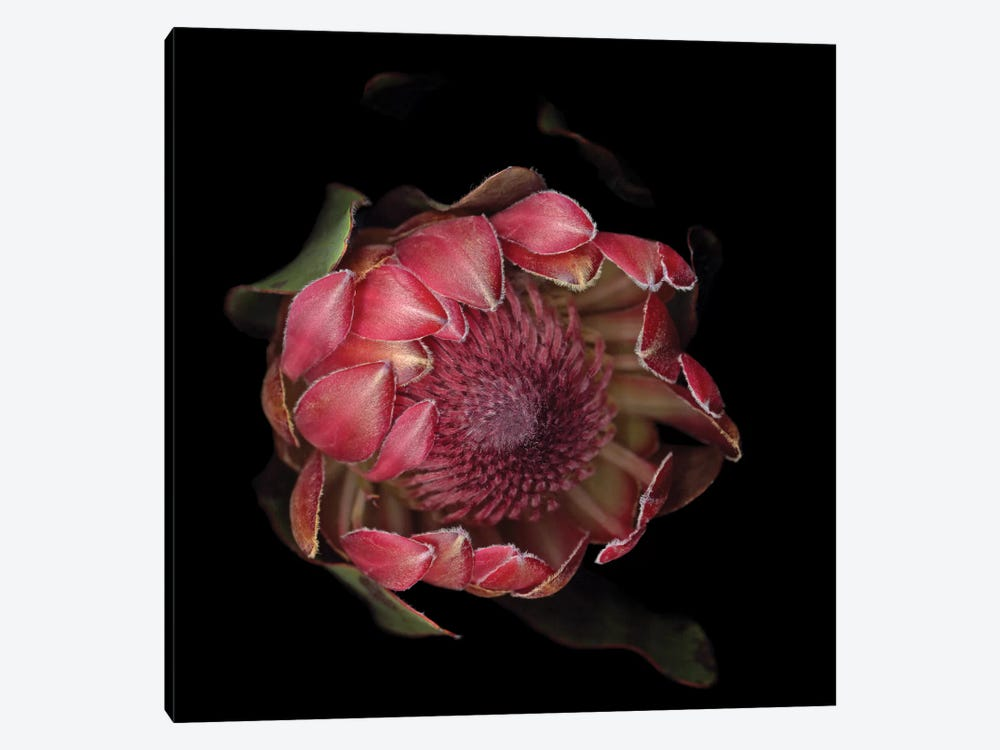 The Glory Of The Protea by Magda Indigo 1-piece Art Print