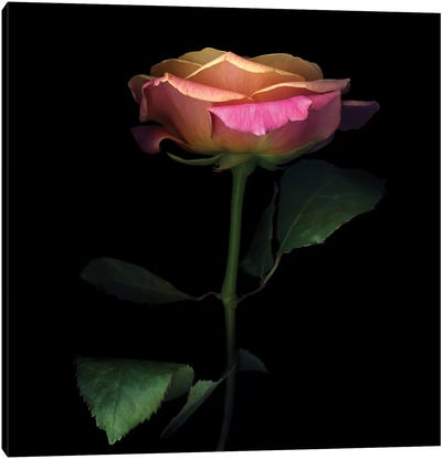 The Glowing Rose Canvas Art Print
