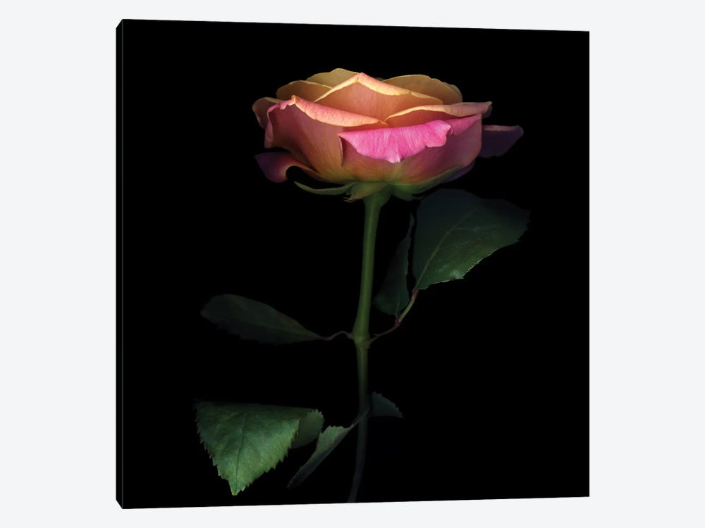 The Glowing Rose by Magda Indigo 1-piece Canvas Wall Art