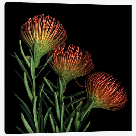 A Sugar Rush Of Leucospermum Canvas Print #MAG7} by Magda Indigo Canvas Print