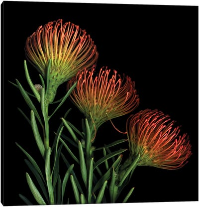 A Sugar Rush Of Leucospermum Canvas Art Print