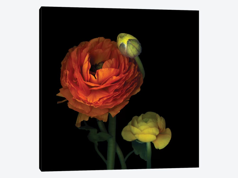 The Sunny Ranunculus by Magda Indigo 1-piece Art Print