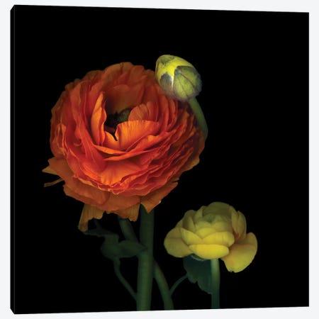 The Sunny Ranunculus 3-Piece Canvas #MAG85} by Magda Indigo Canvas Art Print
