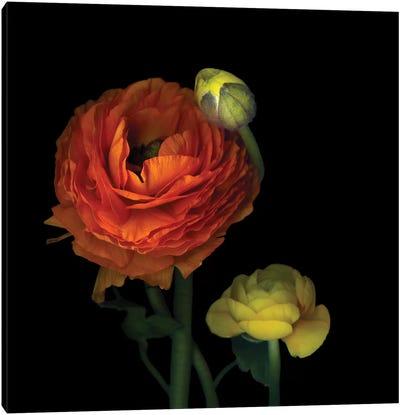 The Sunny Ranunculus Canvas Art Print