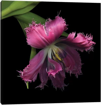 Tulip…Revealed Canvas Art Print