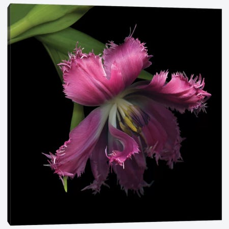 Tulip…Revealed Canvas Print #MAG91} by Magda Indigo Canvas Print