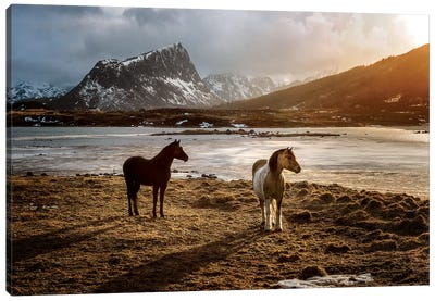 Lofoten Horses Canvas Art Print