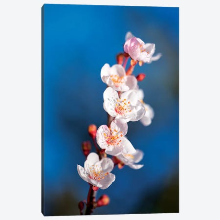 Sakura Spring Canvas Print #MAO178} by Marco Carmassi Canvas Print