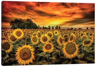 Tuscany Sunflowers Field Canvas Art Print
