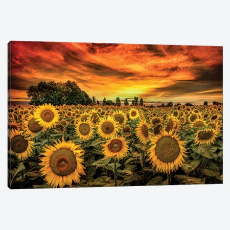 Tuscany Sunflowers Field Canvas Print #MAO219} by Marco Carmassi Canvas Wall Art