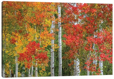 Colorado Autumn Canvas Art Print