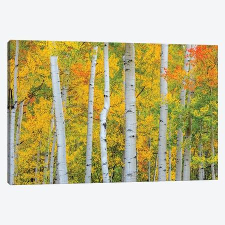 Telluride Trees Canvas Print #MAO234} by Marco Carmassi Canvas Art Print