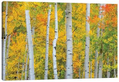 Telluride Trees Canvas Art Print