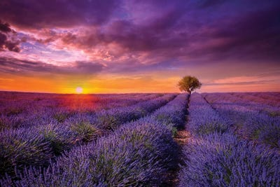 SUNSET OVER BLOOMING LAVENDER FIELDS CANVAS PRINT WALL ART PICTURE PHOTO
