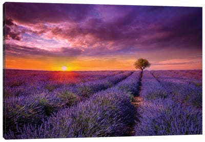 Lavender At Sunset Canvas Art Print