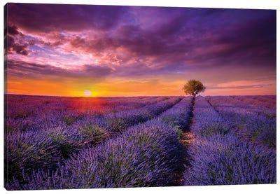 Lavender At Sunset Canvas Art Print