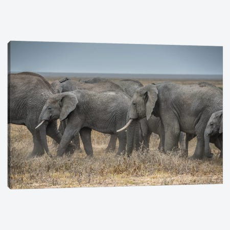 Serengeti Migration Canvas Print #MAO49} by Marco Carmassi Canvas Art