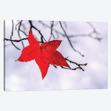 Red Leaf Canvas Print #MAO8} by Marco Carmassi Canvas Artwork