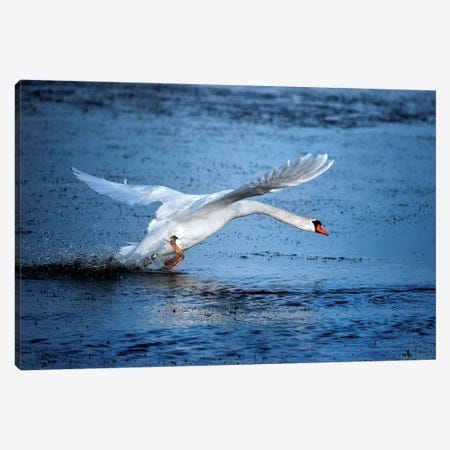 Mute Swan Landing Canvas Print #MAO96} by Marco Carmassi Canvas Artwork