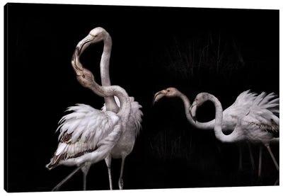 Tango And Flamingos Canvas Art Print