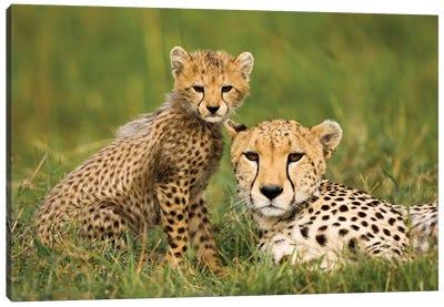 Cheetah, Acinonyx Jubatus, With Cub In The Masai Mara Gr, Kenya. Canvas Art Print