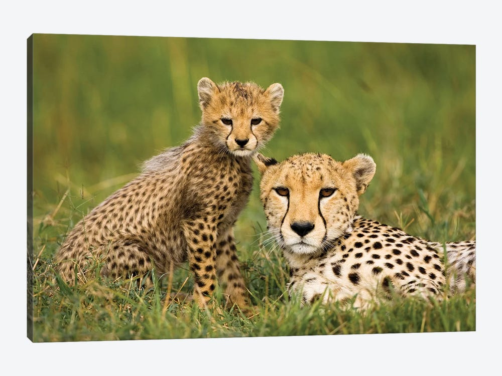 Cheetah, Acinonyx Jubatus, With Cub In The Masai Mara Gr, Kenya. by Joe & Mary Ann McDonald 1-piece Canvas Wall Art