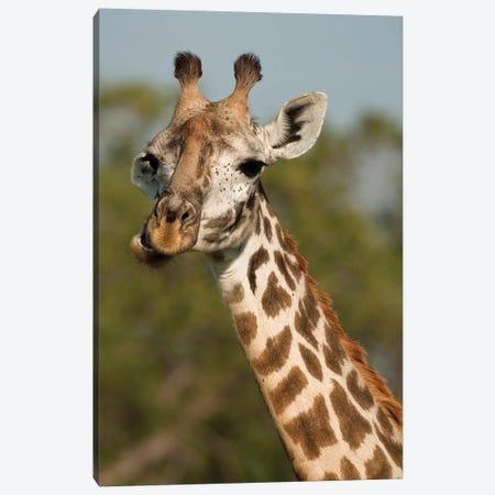 Masai Giraffe, Giraffa Camelopardalis Tippelskirchi, In Grasses In Upper Mara, Masai Mara Gr, Kenya, Humor, Chewing. Canvas Print #MCD3} by Joe & Mary Ann McDonald Art Print