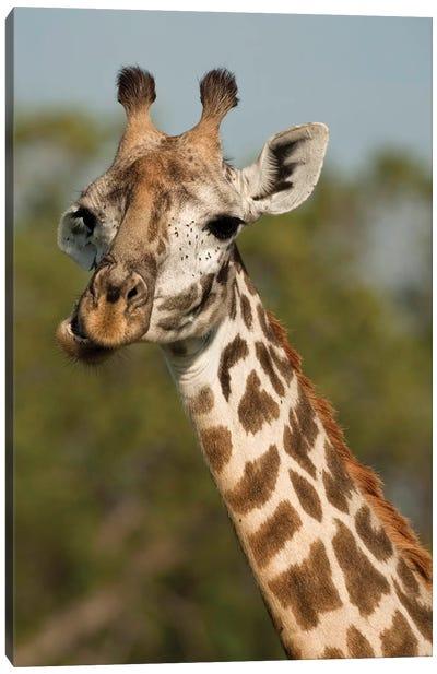 Masai Giraffe, Giraffa Camelopardalis Tippelskirchi, In Grasses In Upper Mara, Masai Mara Gr, Kenya, Humor, Chewing. Canvas Art Print