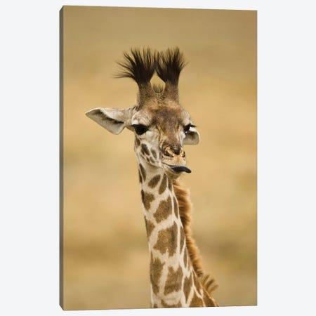 Africa, Kenya, Masai Mara Gr, Upper Mara, Masai Giraffe, Giraffa Camelopardalis Tippelskirchi, Portrait, Licking Lips Canvas Print #MCD4} by Joe & Mary Ann McDonald Canvas Wall Art