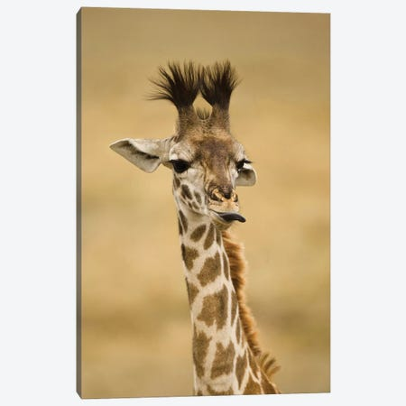 Africa, Kenya, Masai Mara Gr, Upper Mara, Masai Giraffe, Giraffa Camelopardalis Tippelskirchi, Portrait, Licking Lips Canvas Print #MCD4} by Joe & Mary Ann McDonald Canvas Wall Art