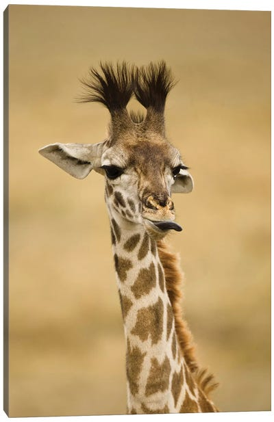 Africa, Kenya, Masai Mara Gr, Upper Mara, Masai Giraffe, Giraffa Camelopardalis Tippelskirchi, Portrait, Licking Lips Canvas Art Print