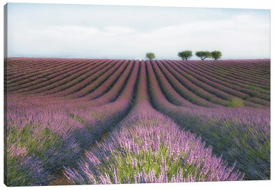 Velours de Lavender Canvas Art Print