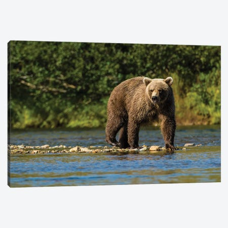 Grizzly or brown bear (Ursus arctos), Moraine Creek (River), Katmai NP and Reserve, Alaska Canvas Print #MDE16} by Michael DeFreitas Canvas Artwork